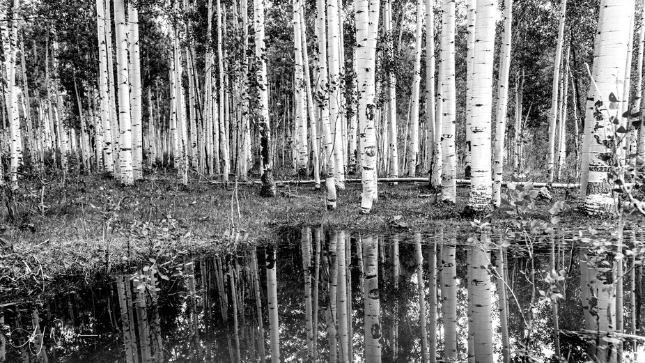 Aspen reflections at a remote beaver pond on the Grand Mesa in beautiful Colorado.