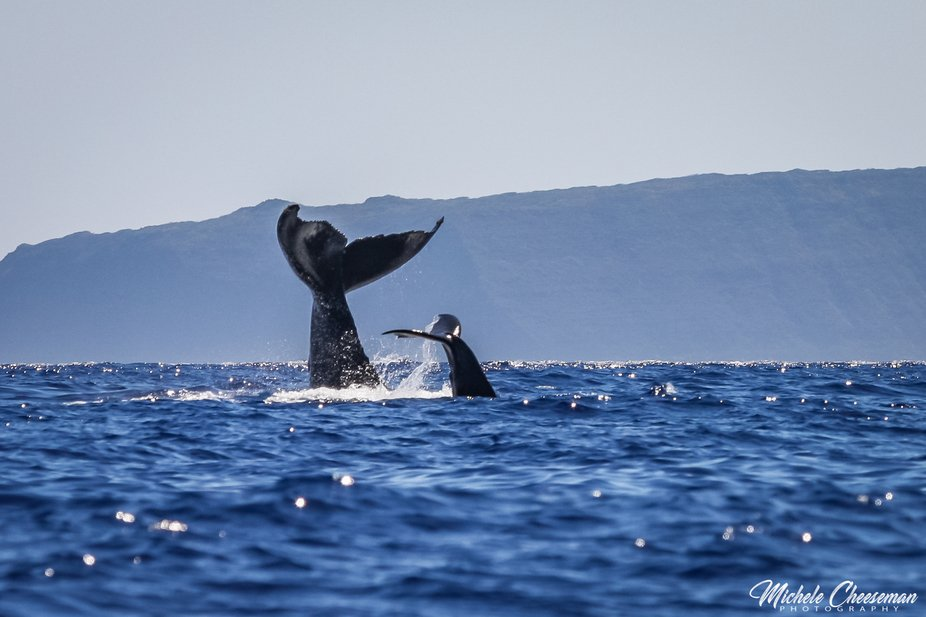 Whale tails of mother and baby with Molokini in the background.... one of the best experiences ev...