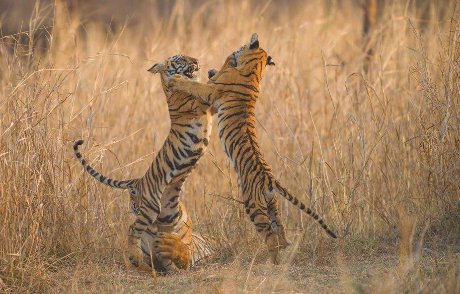 Bengal tiger (Panthera tigris tigris)  Tadoba Tiger Reserve, Maharashtra, India  Seeing a tiger i...