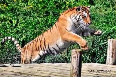 Tigers Leap