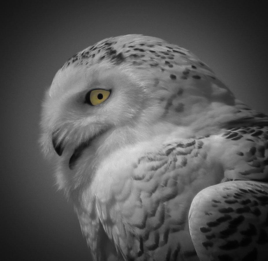 Snow Owl Portrait - B&W