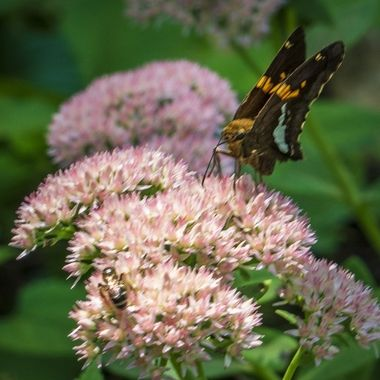 A butterfly at work at Bothwell Estate State Historic Site near Sedalia, MO.