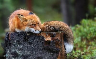The Norwegian Red Fox