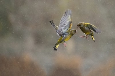 Bird Fight in the rain