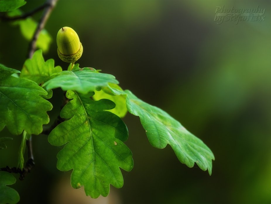 Glow on the oak leaves