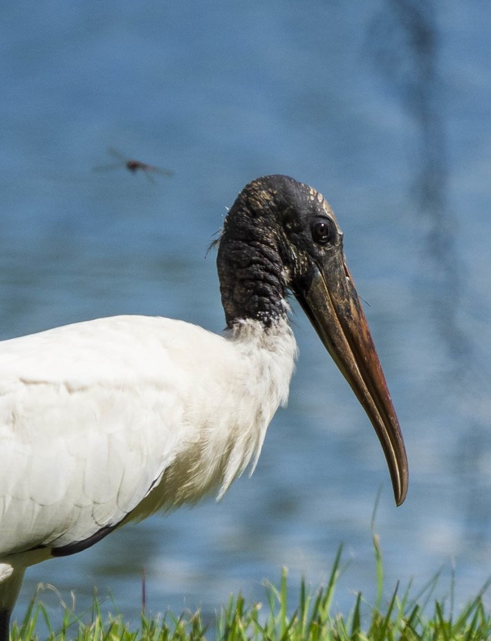 Closeup of a wood stork complete with a photobomb by a dragonfly.