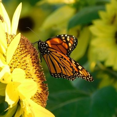 Monarch Butterfly Kissing Sunflower
