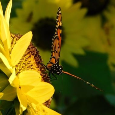 Sunflower and Monarch Butterfly