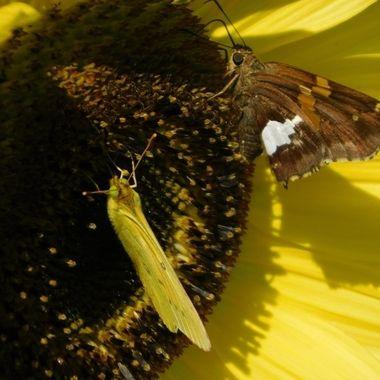 Silverdrop Skipper & Clouded Sulfur on Sunflower