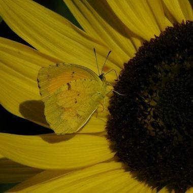 Western Sulfur on Sunflower
