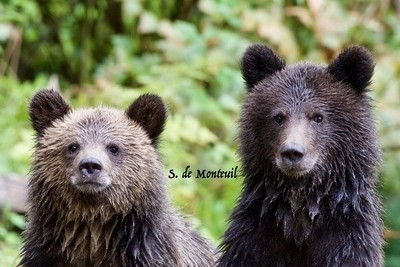 curious grizzly cubs