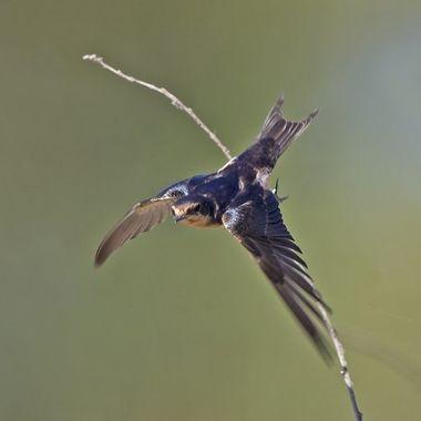 Barn Swallow IMG_1722