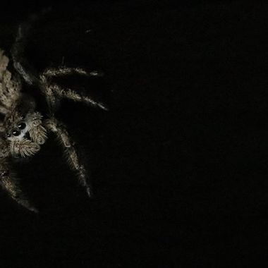 Spider under the coffee table that looks like a cartoon  #canonphotography #canon80d #wildlifephotography #wildlife #naturephotography #naturelovers #insectsofinstagram #insects_macro #insects_of_our_world #spidersofinstagram #nature_good #spider #spiders #jumpingspider