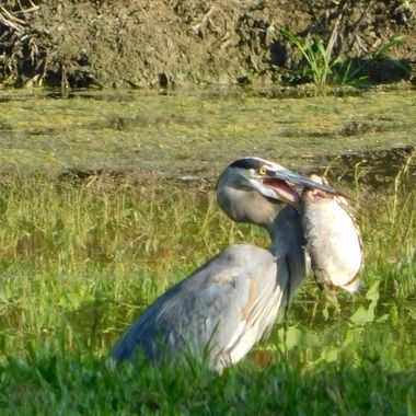 This Heron caught the biggest fish that I have ever seen a Heron catch. He strutted the entire length of the pond with it.