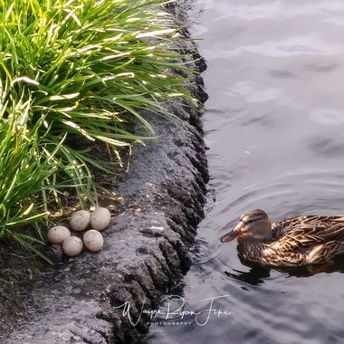 A picture of a duck with her eggs at Riverwalk in Riverside, Ca.  Going through some older photos that I haven't gotten to do much of anything with as far as post-processing, now adding here to share.