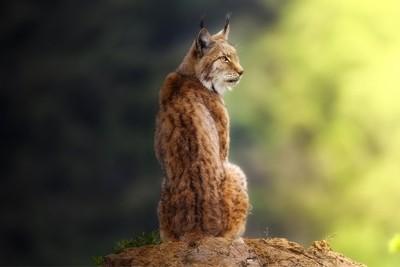 Lynx portrait.