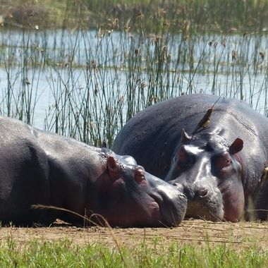 Hippos & Ox Peckers