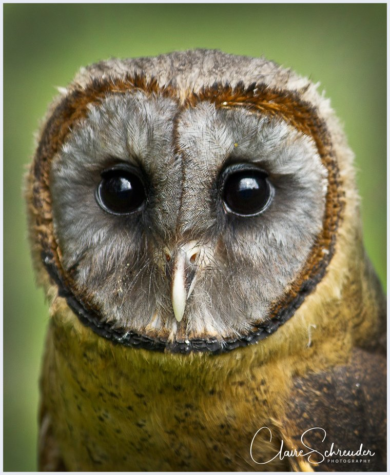 Barn Owl Portrait by ClaireSchreuder - Monthly Pro Photo Contest Vol 45