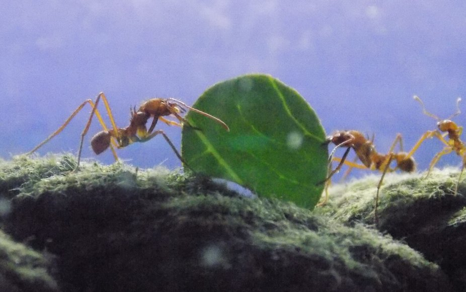 leaf cutter ants at The Deep Hull