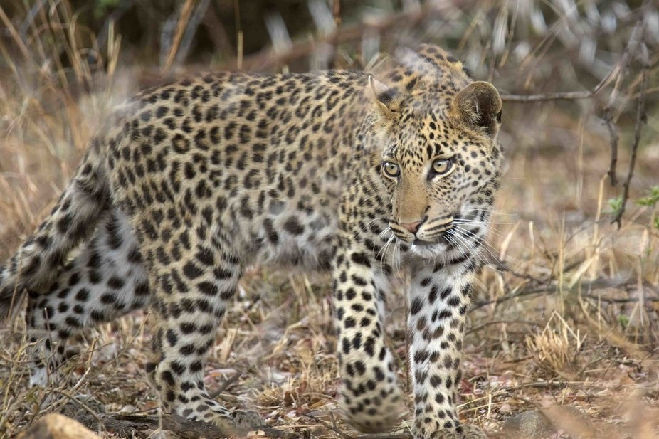 Female leopard on the move