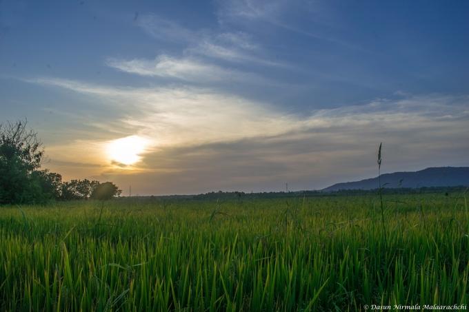 Vast Green Paddy fields in southern Sri Lanka, Thissamaharama