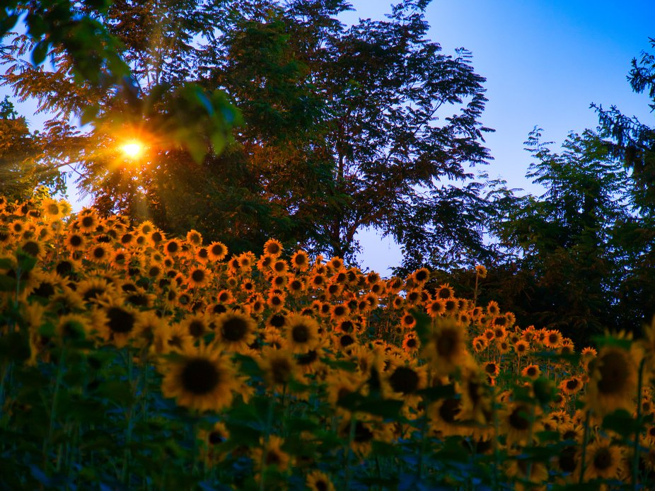 Sunflower in the evening