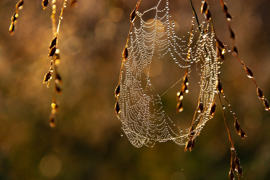 This web was made by the banded garden spider.  Their webs can reach a diameter of about 60 cm. T...