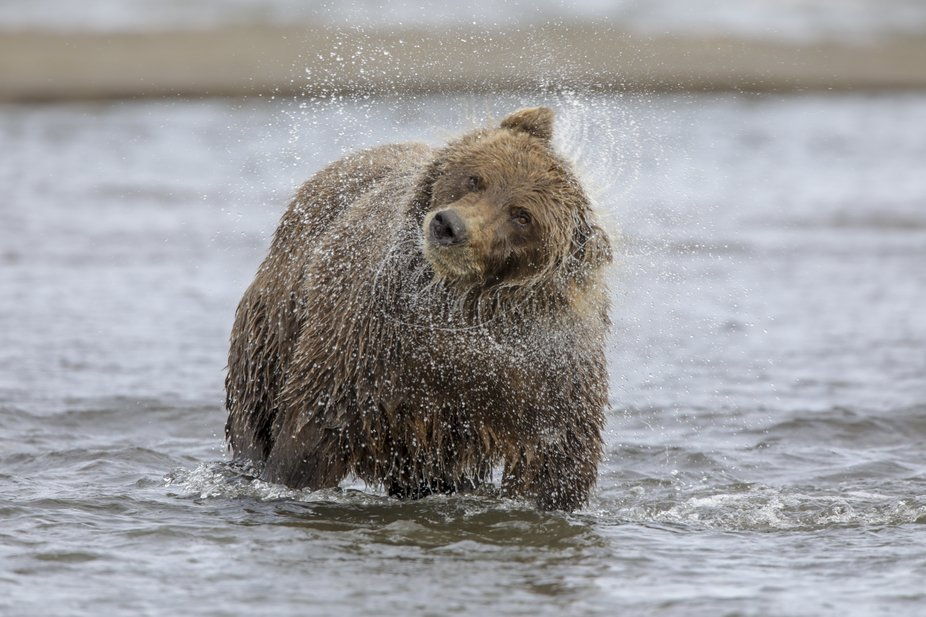 Mama Brown Bear shakes off the water after missing her fish