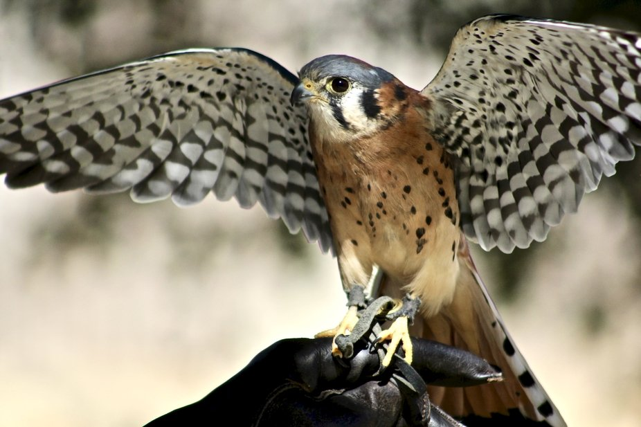 Apollo, a male kestrel at the California Living Museum (CALM) rehabilitation center in Bakersfiel...