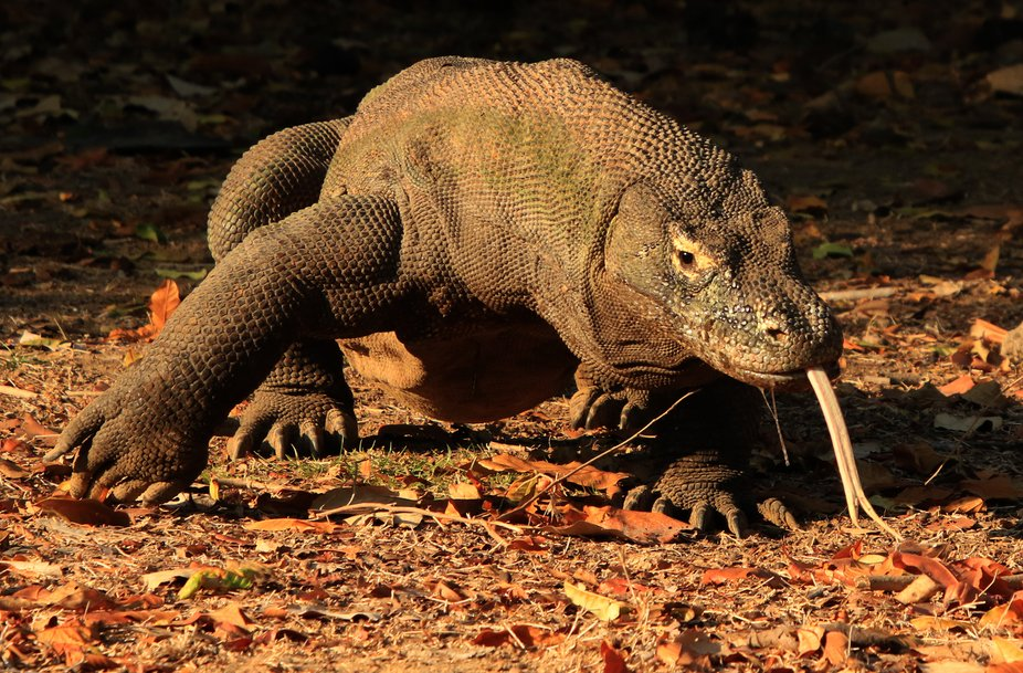 Komodo Dragon With Forked Tongue