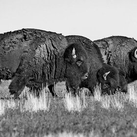 Three Bison on Antelope Island, Utah, USA in springtime.
