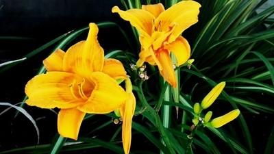 Golden Day Lilies