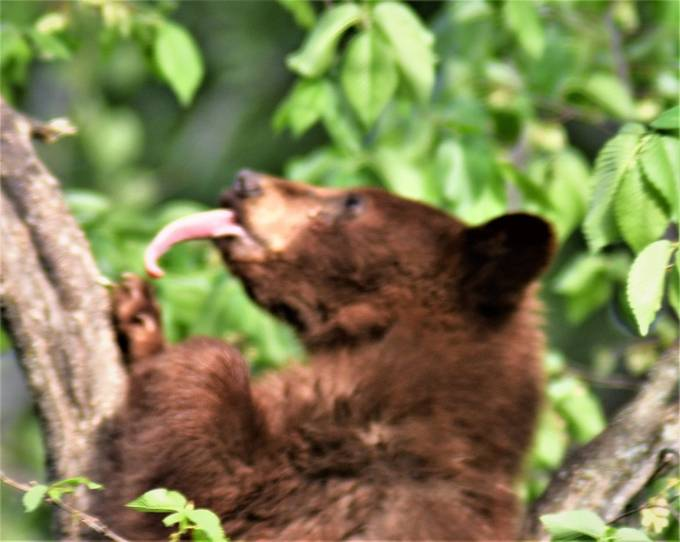 Young brown phase black bear