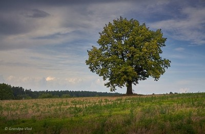 lonely oak...