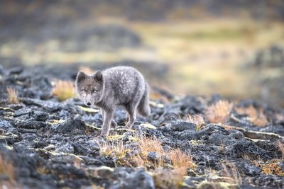 Stalked by an Arctic Fox
