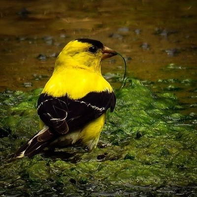 American Goldfinch feeding on pond grass. All information says that they are primarily seed eaters.  #trailsend #americangoldfinch #birding #birdphotography #wetlands #outthebackdoor #backyardnature #canon_photos #canonphotography #pocket_birds #raw_birds