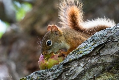 Little Red Eating an Apple
