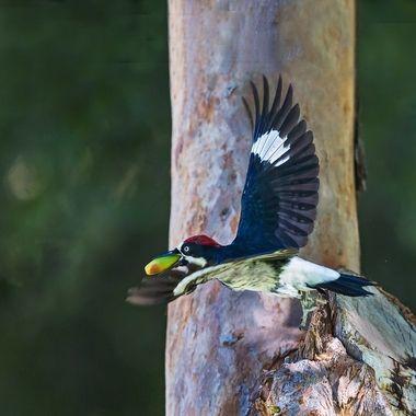 Acorn woodpecker-2051