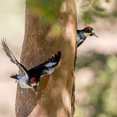 Acorn woodpecker-2170