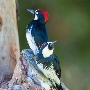 Acorn woodpecker-2015
