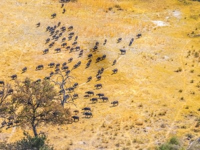 Water Buffalo viewed from Above