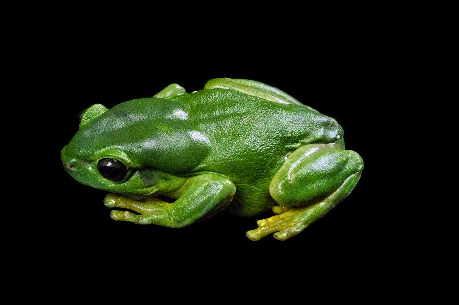 Green Tree Frog IMG_1652