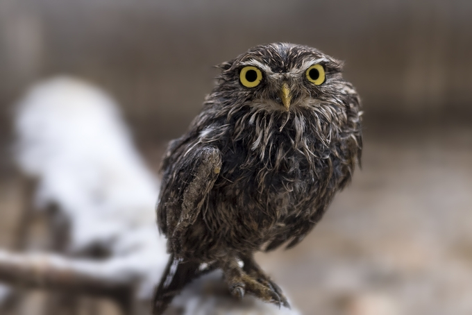 wet by Konti - Beautiful Owls Photo Contest