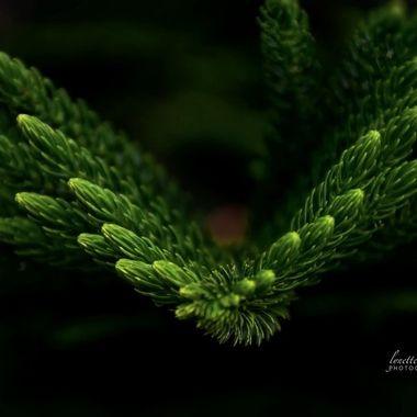 Norwegian Pine Tip of Branch