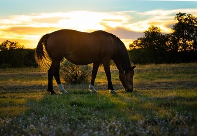 Wild Mustang Mare Sillouetted in the setting sun