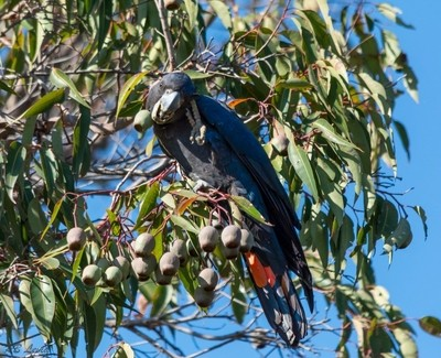 Male Red Tailed Black Cockatoo scratching