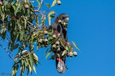 Red Tailed Black Cockatoo feeding on gum nuts