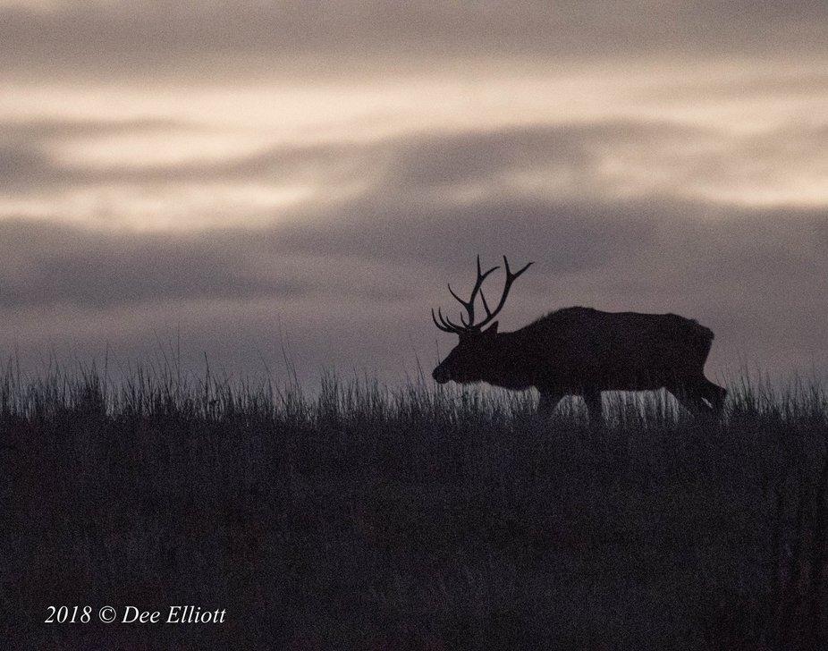 Rocky Mountain Elk 3