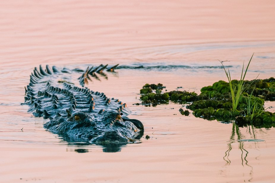 Salwater crocodile, taken at Yellow Waters Billabong, Kakadu, Northern Territory, Australia.  Gro...