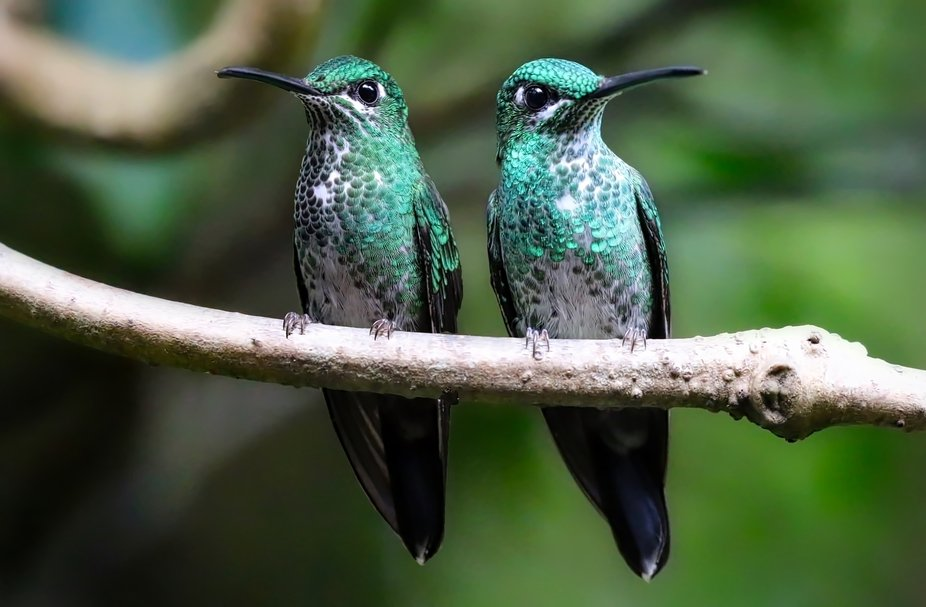 Hummingbirds in the cloud forest of Costa Rica